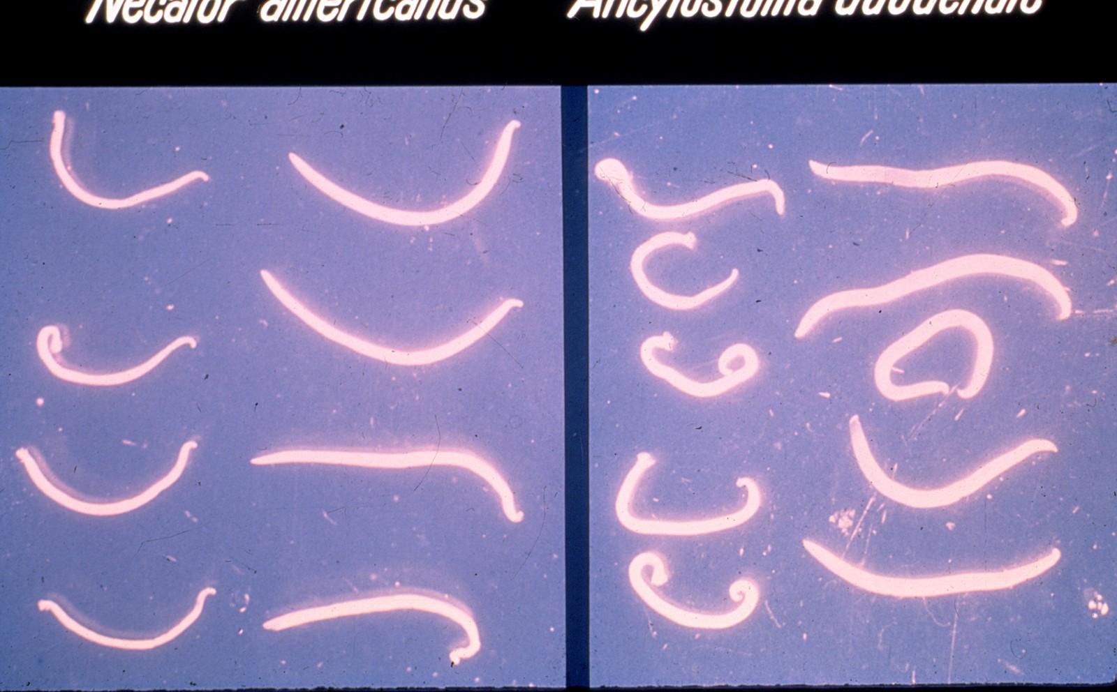Biblioteca virtual de slides de parasitologia Tiff